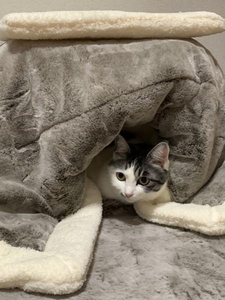 猫 雑種(ミックス) たぬきちの写真