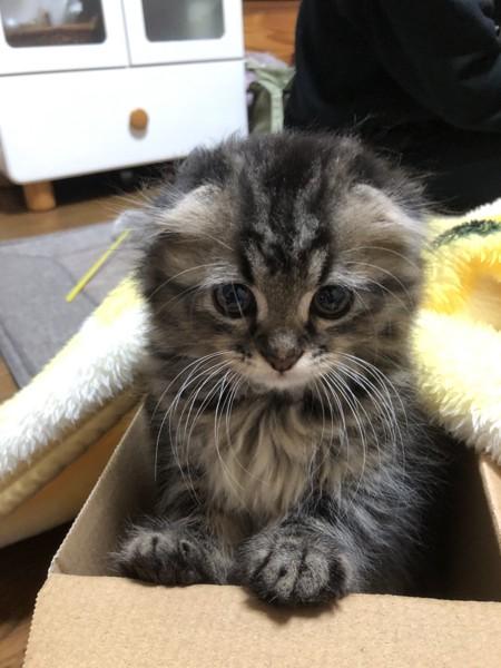 猫 ミヌエット ここあの写真