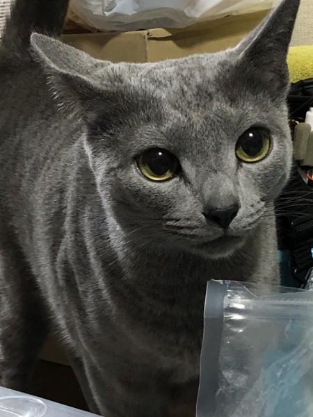 猫 ロシアンブルー グレイの写真