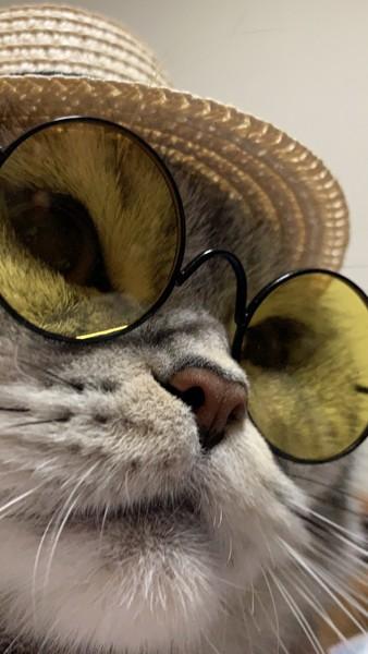 猫 スコティッシュストレート レオンの写真