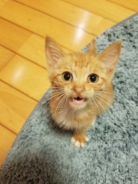 猫 雑種(ミックス) はち助の写真
