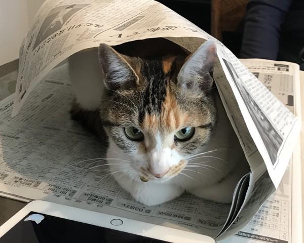 猫 三毛猫 桃ちゃんの写真