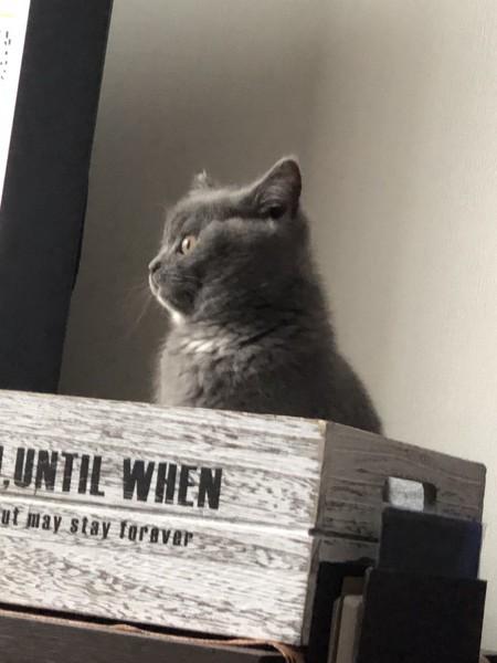 猫 ブリティッシュショートヘア ブリ子の写真