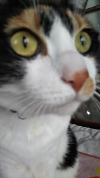 猫 三毛猫 なつこ。の写真