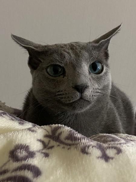 猫 ロシアンブルー なごみの写真