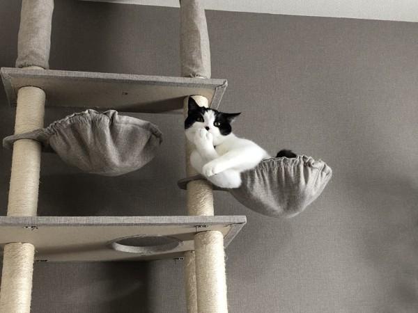 猫 スコティッシュフォールド そらくんの写真