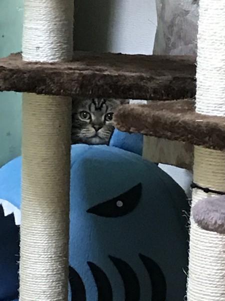猫 アメリカンショートヘア パロの写真