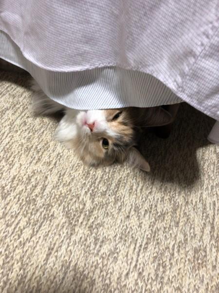 猫 ノルウェージャンフォレストキャット きぬの写真