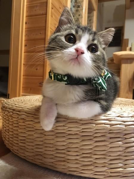 猫 マンチカン クロの写真