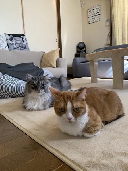 猫 ノルウェージャンフォレストキャット ルイの写真