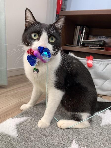 猫 雑種(ミックス) ココの写真