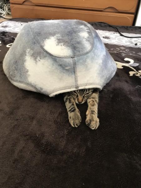 猫 ジャパニーズボブテイル くるみちゃんの写真