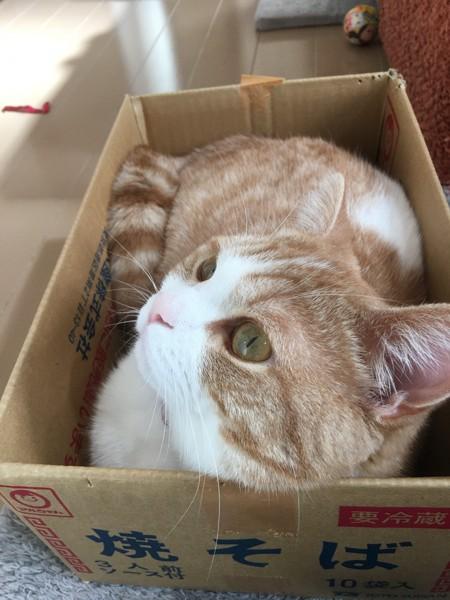 猫 スコティッシュフォールド マロン君の写真