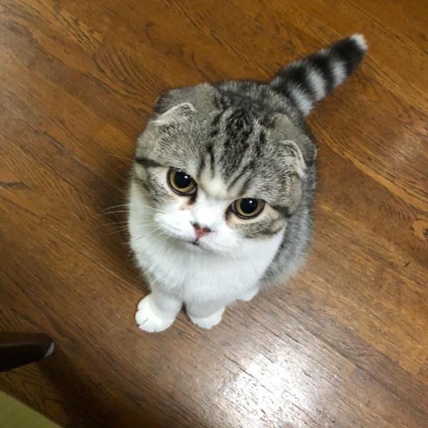 猫 スコティッシュフォールド まろんの写真