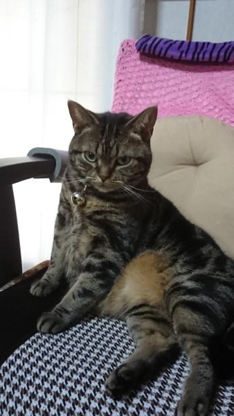 猫 アメリカンショートヘア ソラの写真