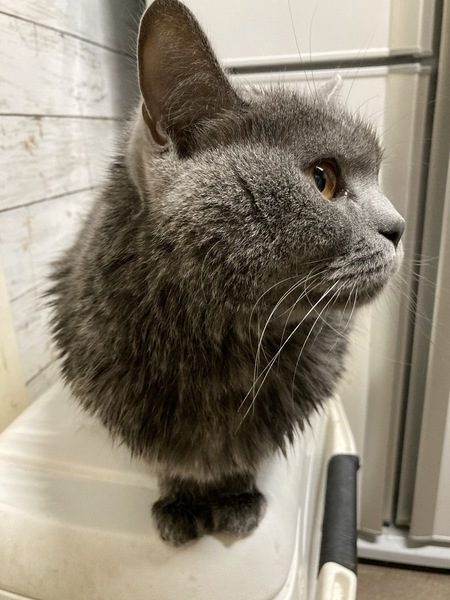 猫 ブリティッシュショートヘア マロニーの写真