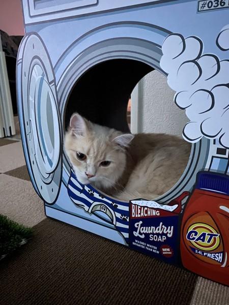 猫 セルカークレックス ノアの写真