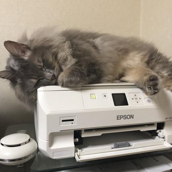 猫 ノルウェージャンフォレストキャット Grayの写真