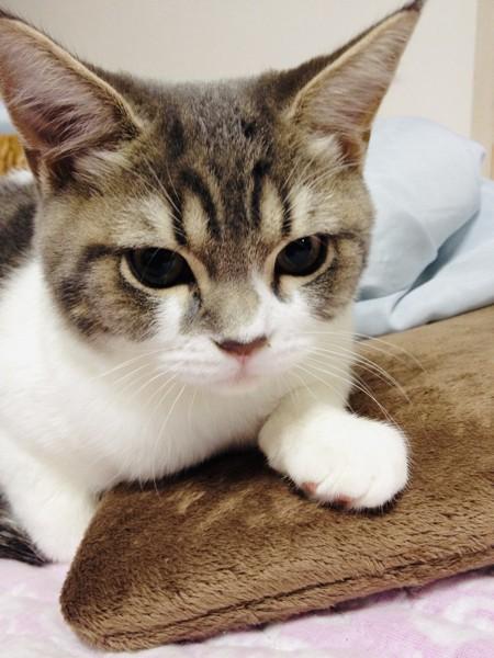 猫 スコティッシュフォールド いずもの写真