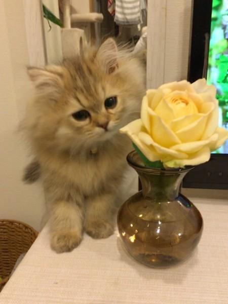 猫 チンチラペルシャ トトの写真