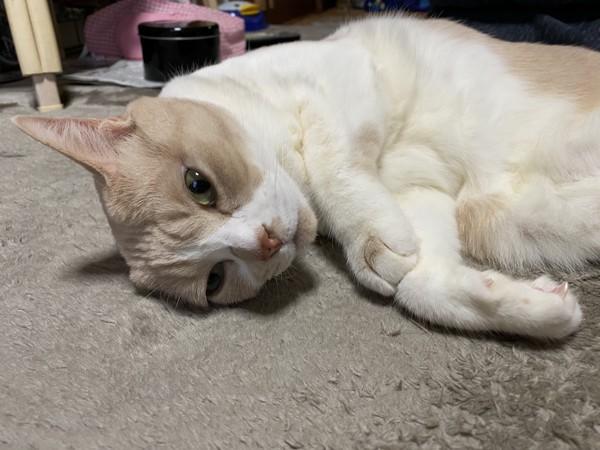 猫 茶白トラ ミィちゃんの写真