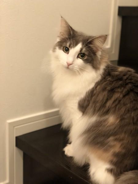 猫 ノルウェージャンフォレストキャット 潓美の写真