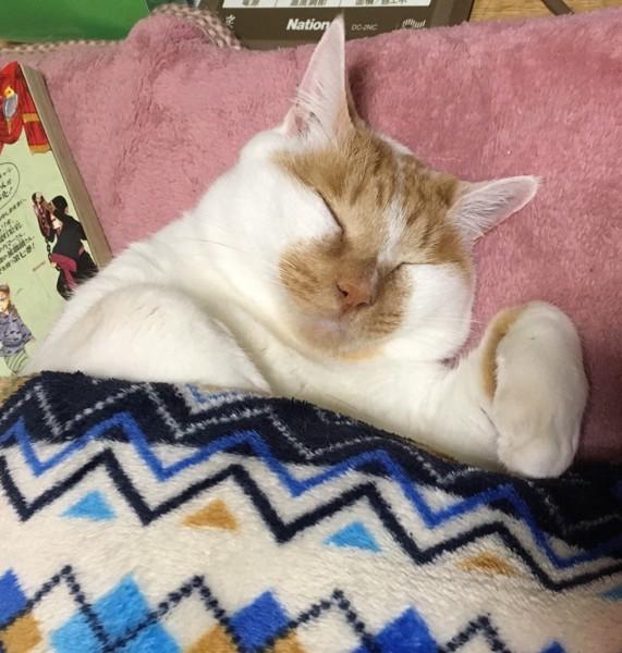 猫 茶ブチ チビにゃーの写真