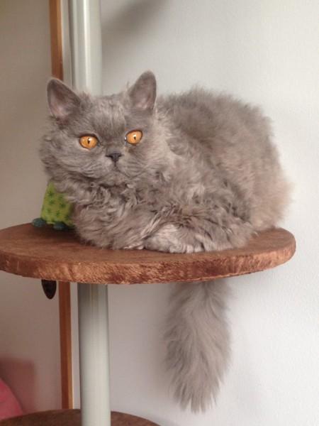 猫 セルカークレックス ROMYの写真