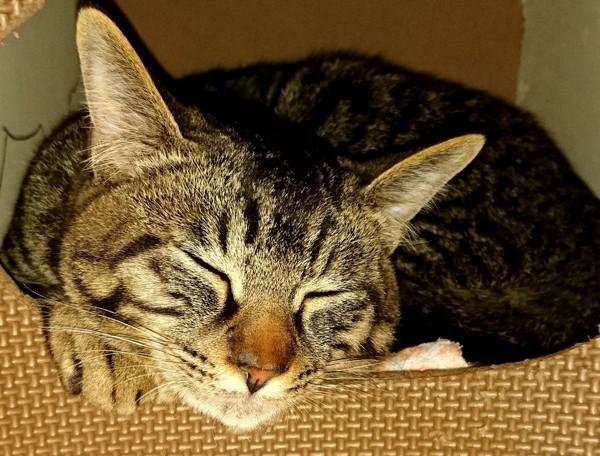 猫 キジトラ マロンの写真