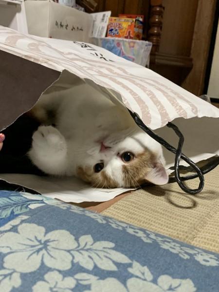猫 スコティッシュフォールド りりの写真