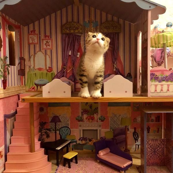 猫 スコティッシュフォールド ほていの写真