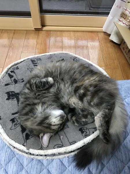 猫 雑種(ミックス) つくね&むぎの写真