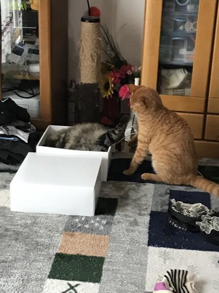 猫 アメリカンキューダ つくね&むぎの写真