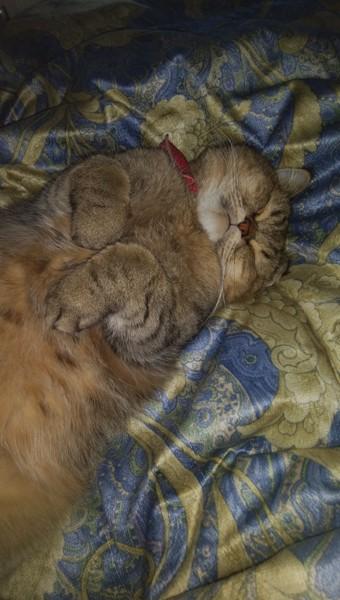猫 エキゾチックショートヘア りくちゃんの写真
