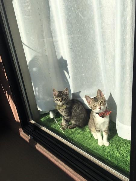 猫 キジトラ ミリポンの写真