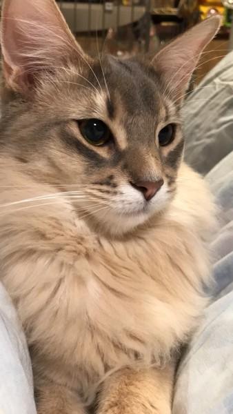 猫 ソマリ ゴマの写真