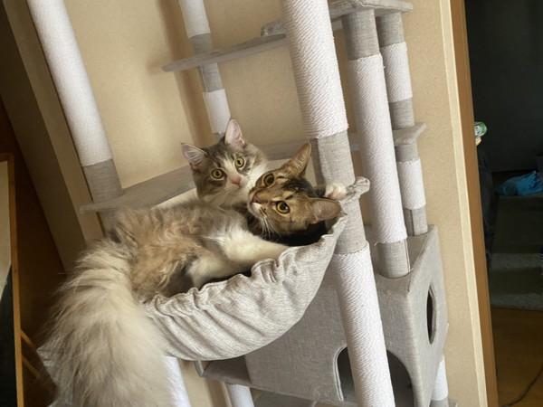 猫 アビシニアン うりとむぎの写真