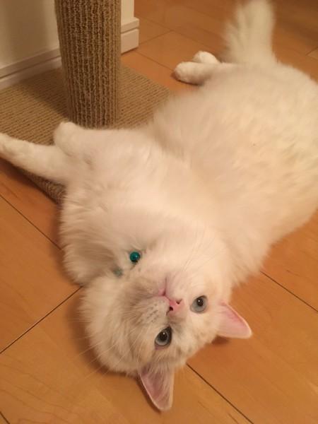 猫 ラグドール タンザの写真