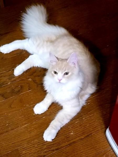 猫 ノルウェージャンフォレストキャット ベルくん☆の写真