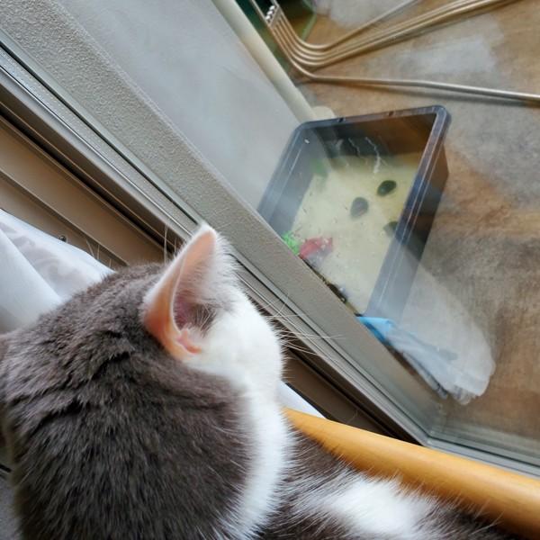 猫 ブリティッシュショートヘア ふくの写真