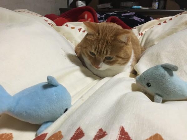 猫 茶白トラ たまの写真