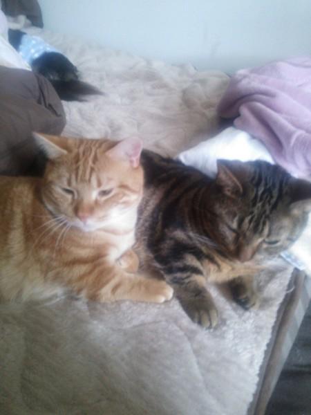 猫 マンチカン モナカ&モカの写真