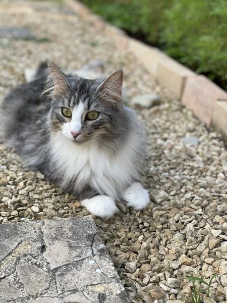 猫 ノルウェージャンフォレストキャット プルの写真
