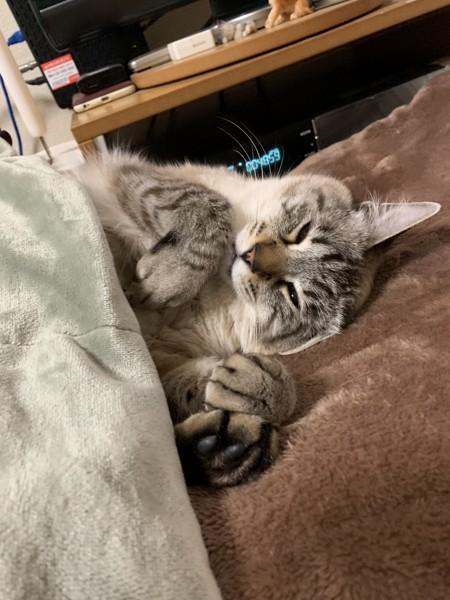 布団を掛けて寝る猫