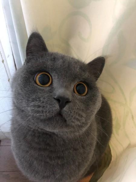 猫 ブリティッシュショートヘア 弥太郎の写真