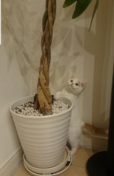 猫 アメリカンショートヘア ティーちゃんの写真