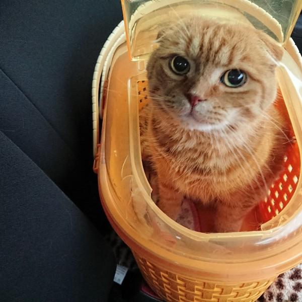 猫 スコティッシュフォールド 虎太朗の写真