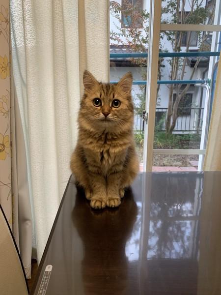 猫 ミヌエット ミミの写真