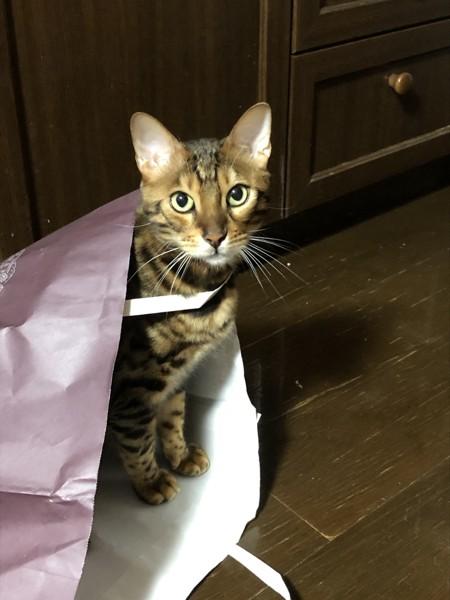 猫 ベンガル Ottoの写真