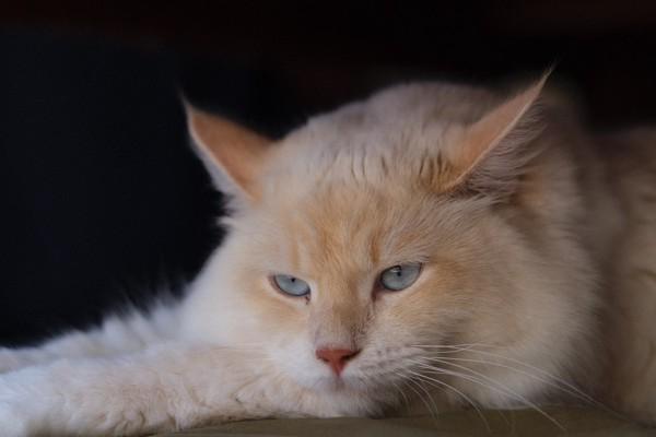 猫 サイベリアン レオの写真